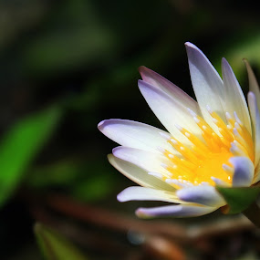 half bloom by Dhannie Setiawan - Nature Up Close Flowers - 2011-2013 ( lotus, white, bloom, small, flower )