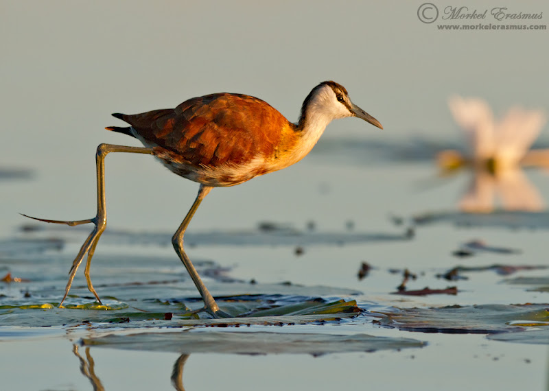 """Photo: I captured this juvenile African Jacana from a low angle by resting my lens over the side of the small boat I was on. The early morning light just made the bird """"pop"""" nicely."""
