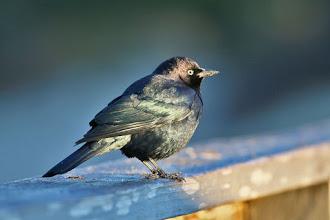 Photo: Brewer's Blackbird