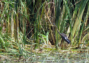 Photo: Purple Heron