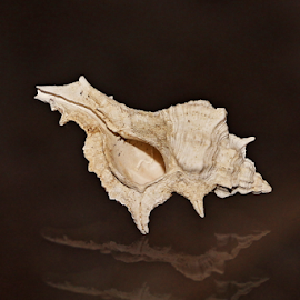 Conch shell by Neil H - Animals Sea Creatures ( shell, shells, sea life, sea shell, nature, conch, sea creature, sea snail, crustacea, nature close up, conch shell, beach shell, small shell, ocean shell, close-up,  )