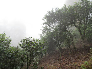 Photo: The tea trees are shrouded in mist.