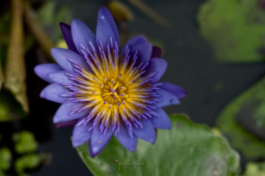 Water Lily by Prabir Adhikary - Flowers Single Flower ( lily, flowers growing in water, flora, flowers of india, flowers, water lily, flowers photo, indian flowers,  )