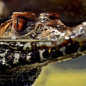 the head by Dhannie Setiawan - Animals Other Mammals ( water, mammals, cayman, head, aligator, animal )