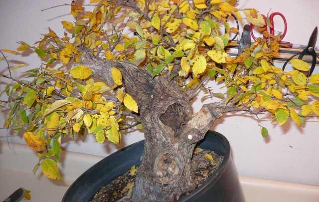 folhas muchas para cuidados com bonsai