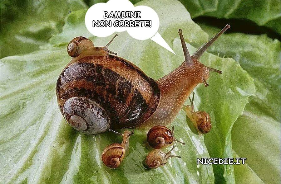 una lumaca circondata da piccoli lumachini, sono tutti sulle foglie di lattuga lei: bambini non correte!
