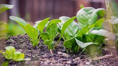 BASF cuenta con un amplio portfolio de variedades de espinaca con las que logra cubrir todo el  ciclo de cultivo.