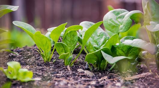 BASF amplía su portfolio de lechuga con variedades más resistentes
