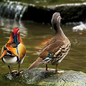 Buddies by Ellen Foulds - Animals Birds ( animals, nature, ducks, mandarin ducks, birds )