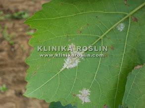 Photo: Mączniaki rzekomy - zarodnikowanie na spodzie liści