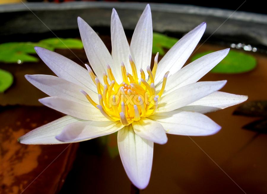 Nature Lotus by Scuba Kars - Nature Up Close Flowers - 2011-2013