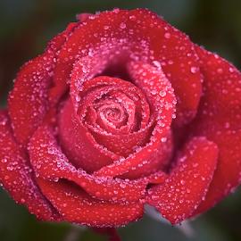0 Rose 9816~ by Raphael RaCcoon - Flowers Single Flower