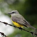 Sirirí común - Tropical Kingbird