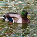 Mallard male. Azulón macho