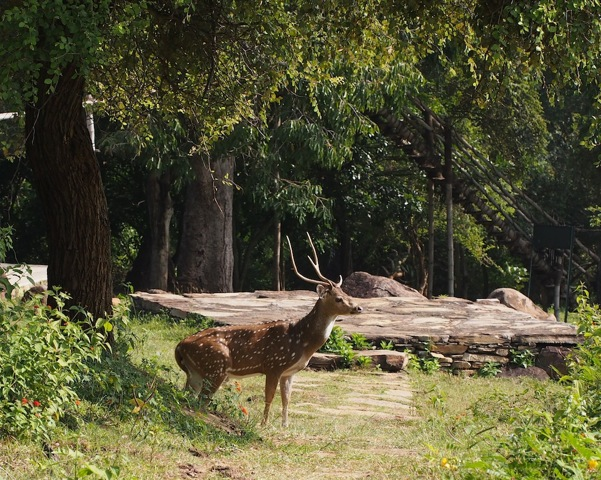 Chital or Spotted Deer