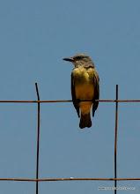 Photo: Tropical Kingbird, Laguna de Quelele