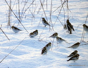 Photo: Lovely Snow Buntings at the base of the Homer Spit