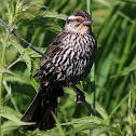 Red-Winged Blackbird (Female Singing)
