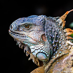 Iguana by Rene Timbang - Animals Reptiles ( #iguana #reptiles #beautiful #canonshots #animals )