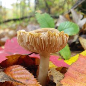 mushroom by Carol Keskitalo - Novices Only Flowers & Plants ( mushroom, fungi, fall, nature up close )