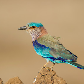 Colorful Indian Roller by Angad Achappa - Animals Birds ( colorful birds, wildlife, indian birds, birds of india, indian roller,  )