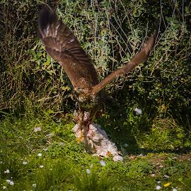 Buzzard 1 - Chicken 0 by Jacquie Woodburn - Novices Only Wildlife ( chicken, nature, greece, lefkada, buzzard, wildlife, garden, geni )