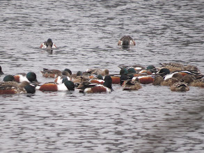 Photo: 30 Jan 14 Park Pool, Chetwynd near Newport This is a typical feeding-frenzy of Shoveler seen 'over the wall' at Park Pool, Chetwynd near Newport. As the birds are constantly spinning to stir up morsels to eat trying to count let-alone sex them can be hard. I think there are 20 drakes and 11 ducks visible in this shot of about one-third the flock. One of the drakes is a first-winter with rather indistinct flank marks, but shows a green head. But what about the extreme right-hand bird – is that the start of a green gloss on the nape and are the flanks tinged orange? (Ed Wilson)