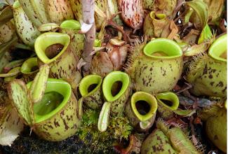 Photo: Nepenthes ampullaria