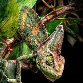 Marvin - Veiled Chameleon by Shawn Thomas - Animals Reptiles