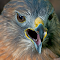 Red-Tailed-Hawk-022.jpg