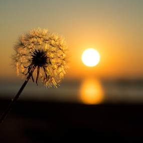 Golden Lion by Terri Mills - Nature Up Close Other plants ( plant, water, dandelion, sunset, sun,  )