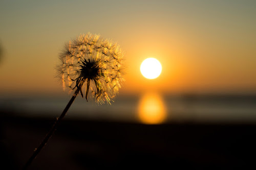 Golden Lion by Terri Mills - Nature Up Close Other plants ( plant, water, dandelion, sunset, sun,  )