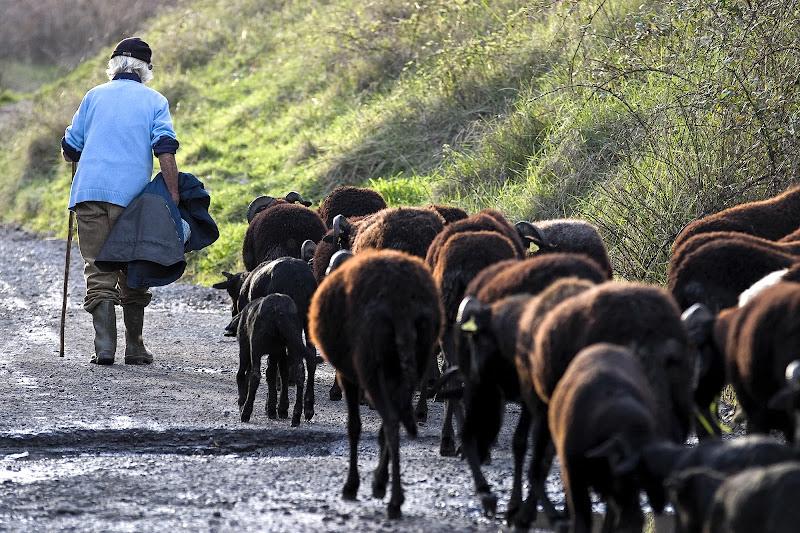 pastore di manolina