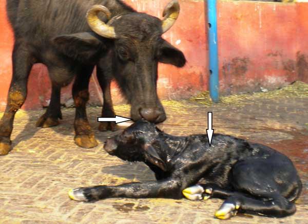 Interacción feto-materna después del parto. Las flechas indican que la búfala huele el feto y lo limpia, humedece la capa de pelo del feto.