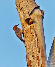 Photo: Buntkopf-Specht (Melanerpes chrysauchen, Golden-naped Woodpecker) mit Jungem.