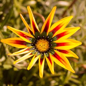 Yellow wild Flower by Adriaan Vlok - Flowers Single Flower ( wild flower, wild yellow flower, yellow flower, flower,  )