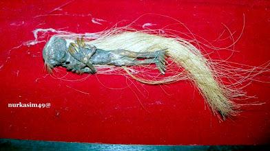 Photo: Kora-kora, Jenglot atau biasa disebut Batara Karang, jenis kelamin betina, panjang 15 cm. https://nurkasim49.blogspot.nl