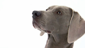Pug, Weimaraner, Maltese, Soft Coated Wheaten Terrier, Akita thumbnail