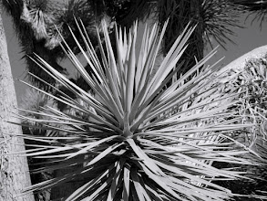 """Photo: Joshua Tree (Yucca) - A closer view at one branch or limb tipped with a cluster of fronds, giant yucca """"tree"""" called the Joshua Tree.  This particular tree is likely at least a hundred years old if not hundreds!  Joshua Tree Forest Parkway of Arizona, along Highway 93."""