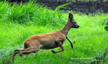 Photo: Rehbock auf der Flucht