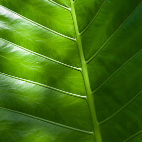 Koh Samui Palm Leave by Johannes Schaffert - Nature Up Close Leaves & Grasses ( palm, leave, green, thailand, samui,  )