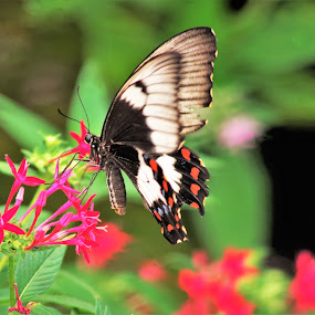 Butterfly on flower by Carolyn Lawson - Novices Only Macro