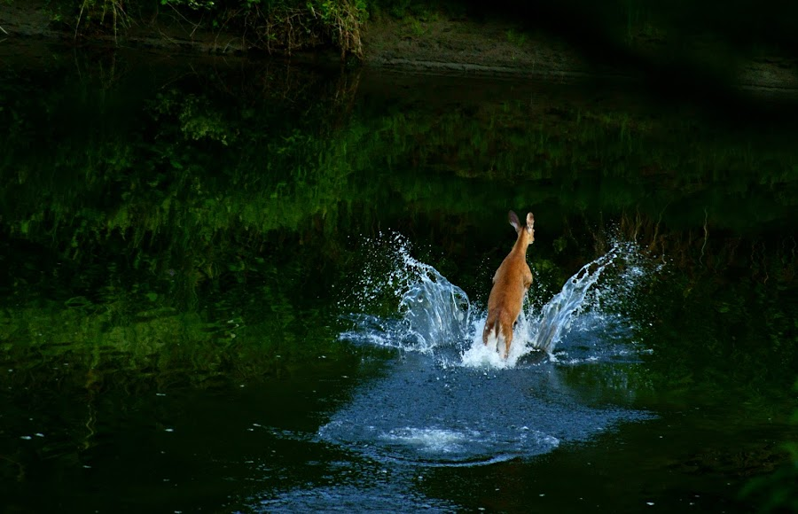 Doe by Sondra Sarra - News & Events World Events ( water, stream, splash, wildlife, doe, run, deer, animal, motion, animals in motion, pwc76,  )