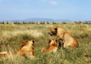 Photo: Ja niitä leijonia