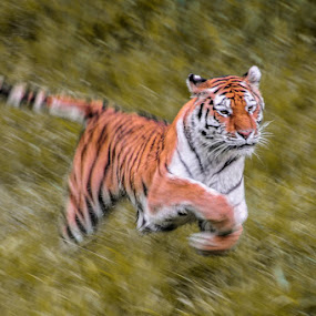 Thrill of the chase. by Michael Haagen - Animals Lions, Tigers & Big Cats ( motion, bokeh, big cats, tiger )