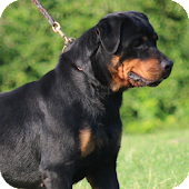 Rottweiler Dog Wallpaper