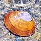 Purple Mahogany Clam