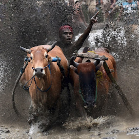 The Winner by Achmad Tibyani - Sports & Fitness Other Sports ( bull race, pacu jawi )