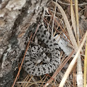 Dusky Pygmy Rattlesnake