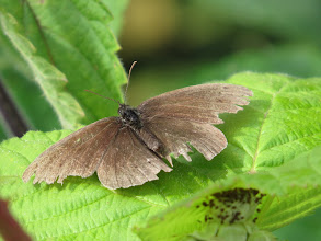 Photo: 24 Jul 13 Priorslee Lake: Ringlet butterflies have been flying for some weeks now and some are looking rather the worse for wear! (Ed Wilson)